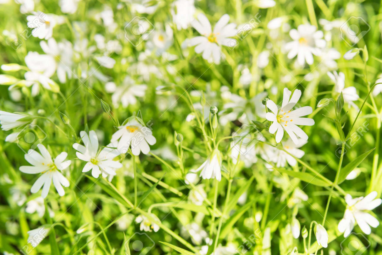 Spring Background Beautiful White Flowers In Green Grass