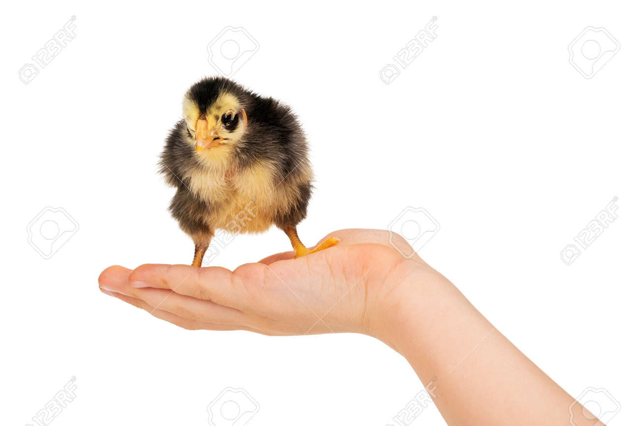 chick on a child hand - 170935900
