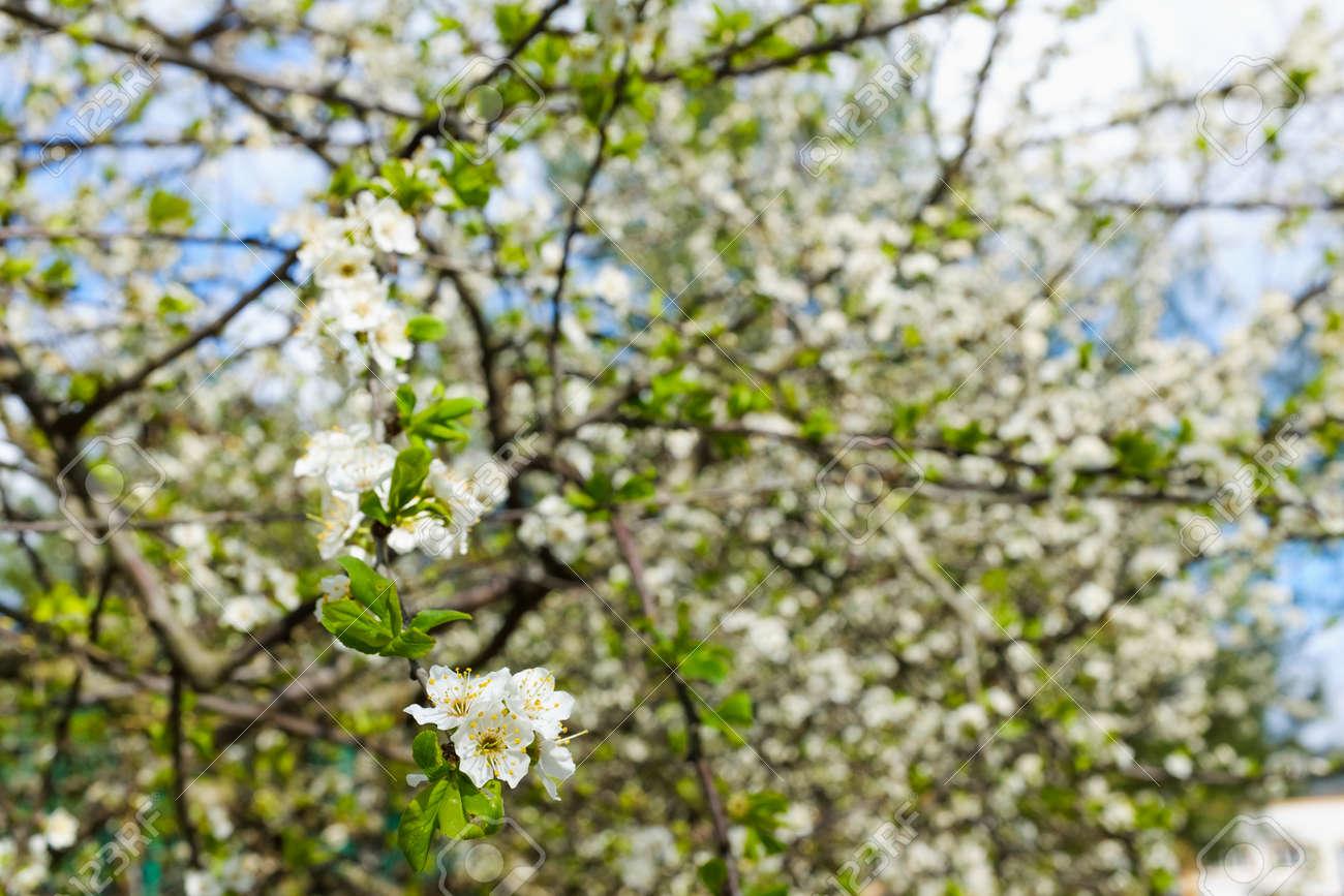 Spring White Blossom Against Blue Sky Flower Fresh Stock Photo