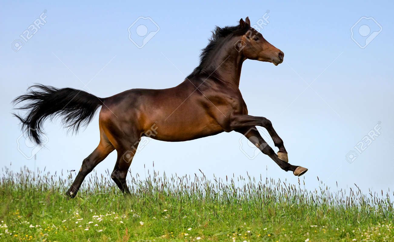 Bay Horse Running In Field Stock Photo Picture And Royalty Free Image Image 12726002