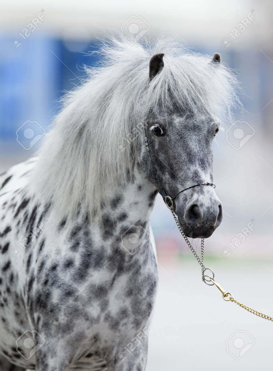 appaloosa horse portrait stock photo picture and royalty free image
