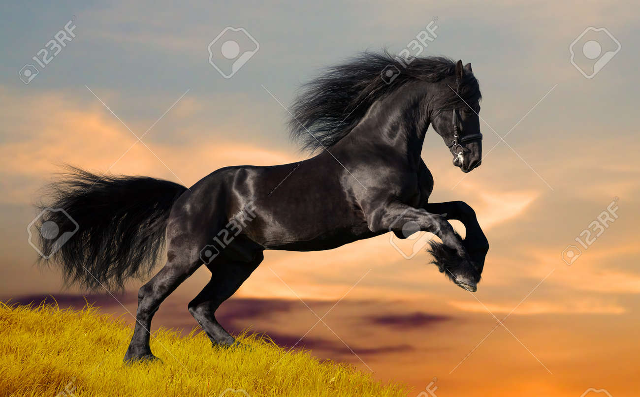 Black Friesian Horse In Sunset Stock Photo Picture And Royalty Free Image Image 12763862