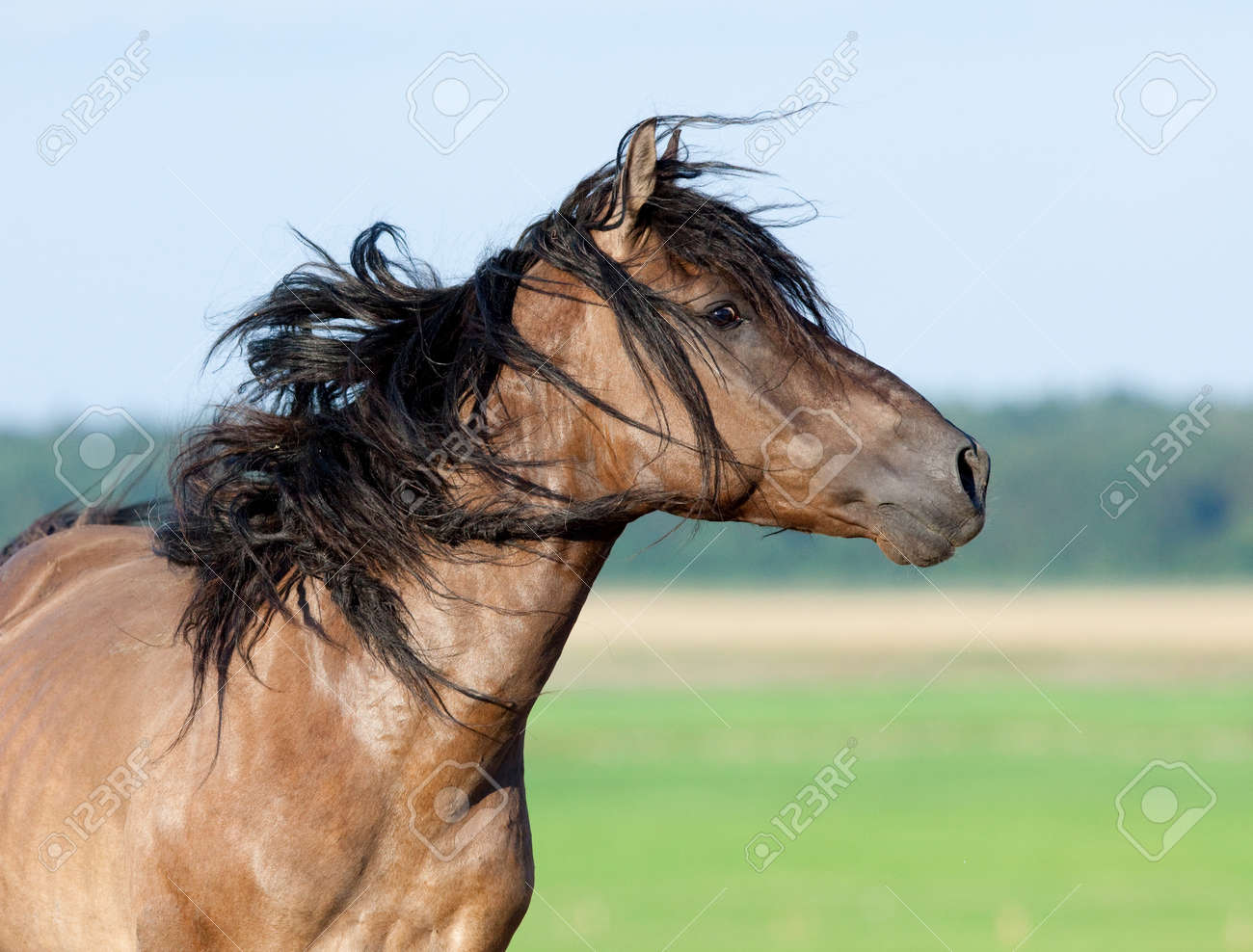 Belarus horse gallops in pasture at summer time. Stock Photo - 13222775