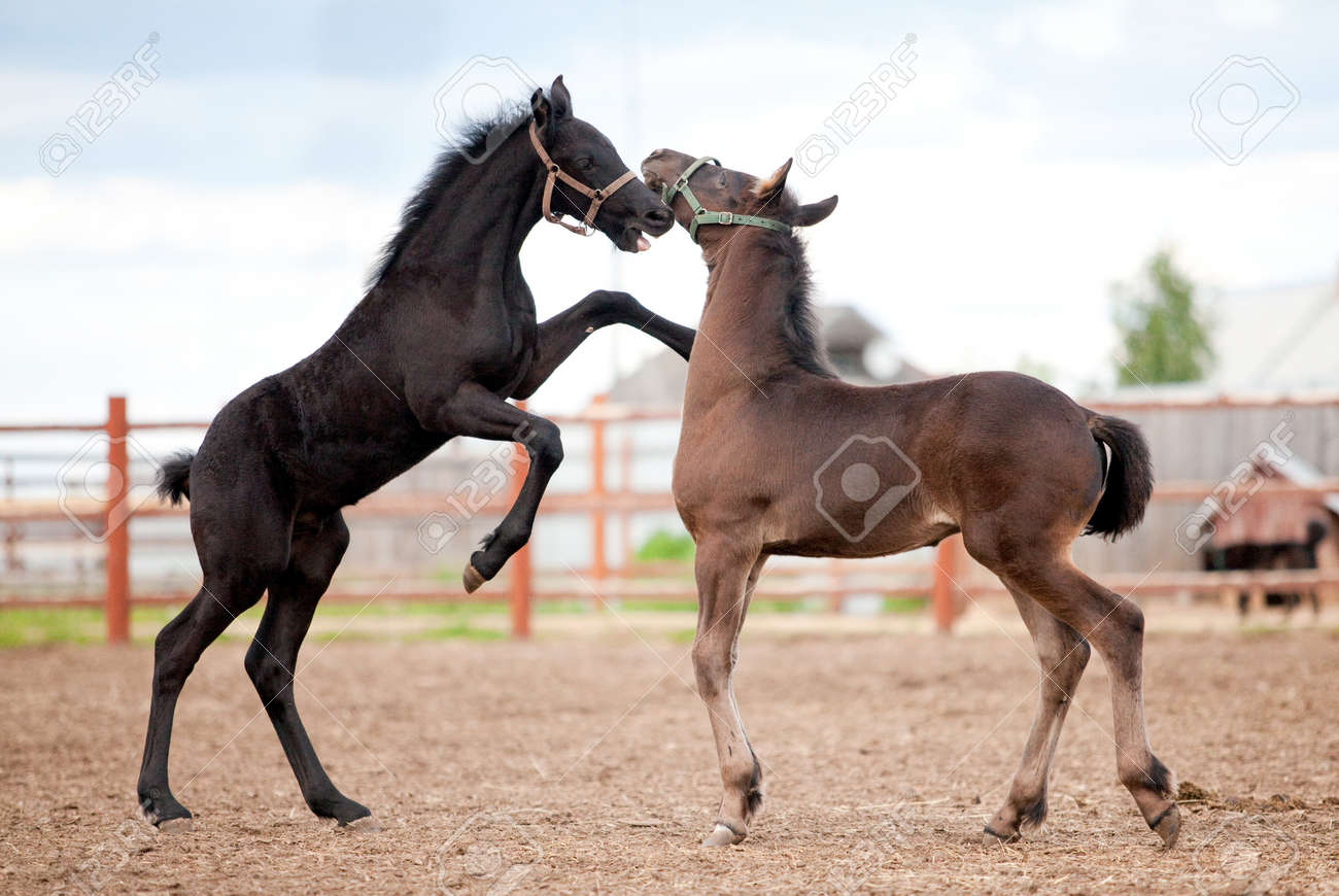 Two Friesian foals playing in the platz at summer. Stock Photo - 13222776