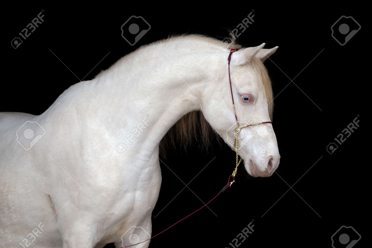 White Horse Head Isolated On Black Background Stock Photo Picture And Royalty Free Image Image 20310096