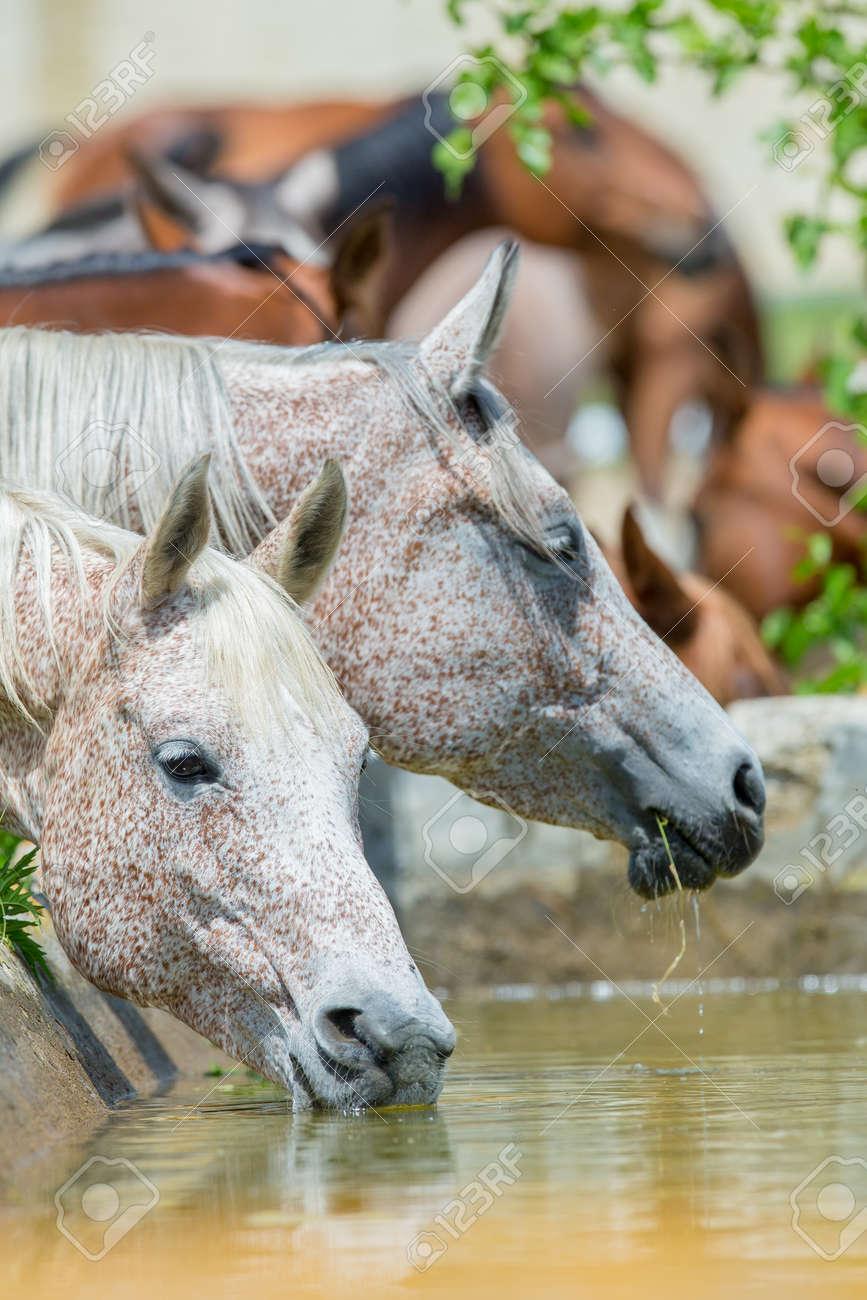 Horses drinking water, Arabian horses Standard-Bild - 23732121