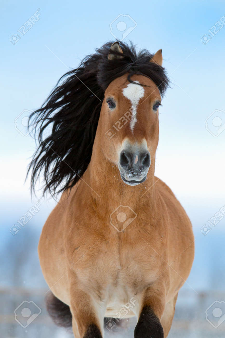 Horse gallops in winter front view stock photo picture and royalty horse gallops in winter front view stock photo 23732138 sciox Choice Image