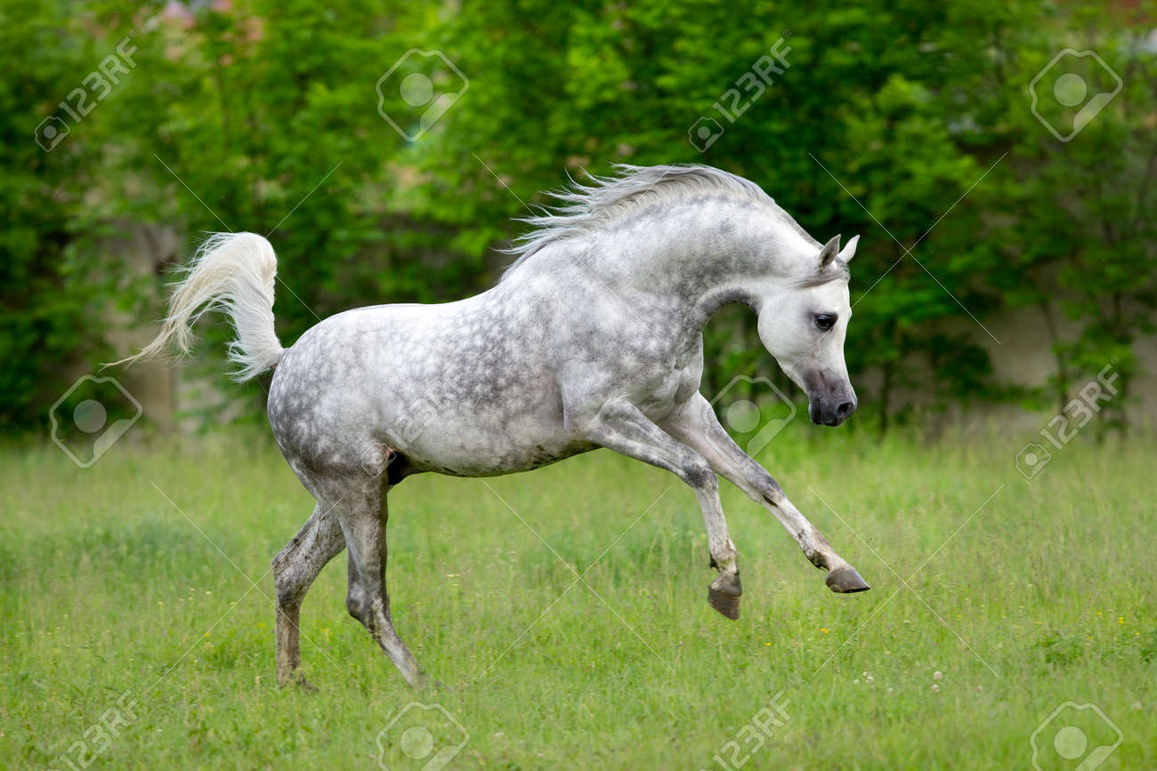 Arabian Horse Runs Gallop On Green Background Stock Photo Picture And Royalty Free Image Image 31354816