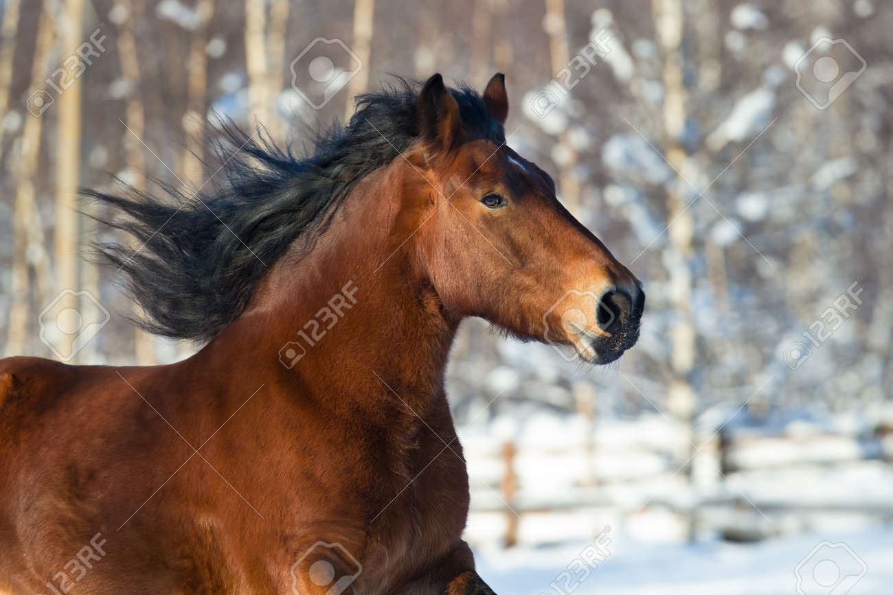 Head Of A Draft Horse Running In Winter Stock Photo Picture And Royalty Free Image Image 32096817