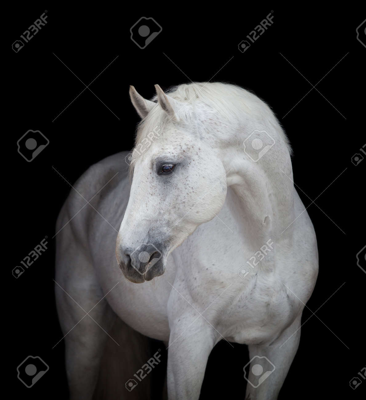 White Horse Head Close Up On Black Isolated Stock Photo Picture And Royalty Free Image Image 35080171