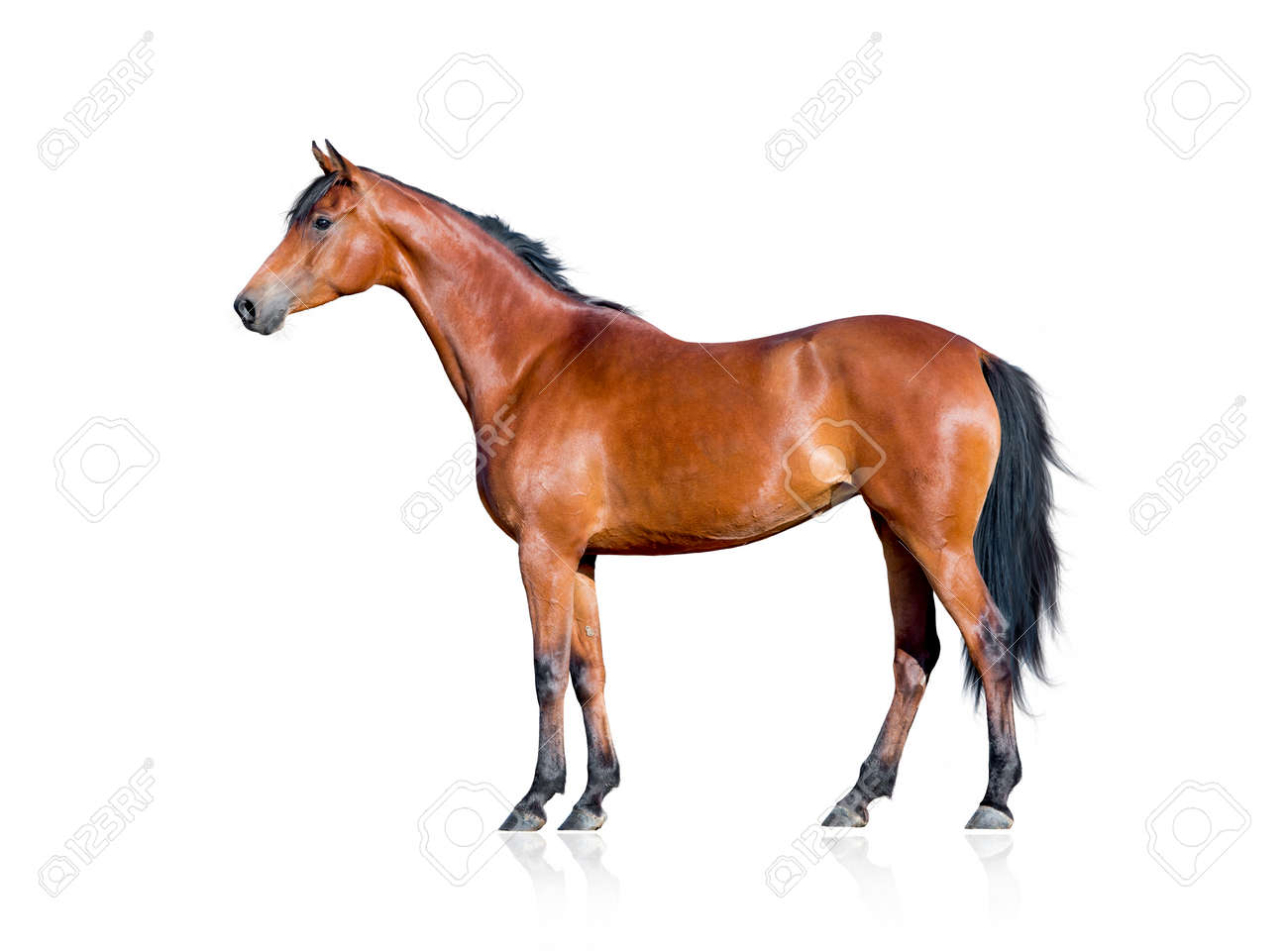 Bay Horse Isolated On White Background Stock Photo Picture And Royalty Free Image Image 35870782