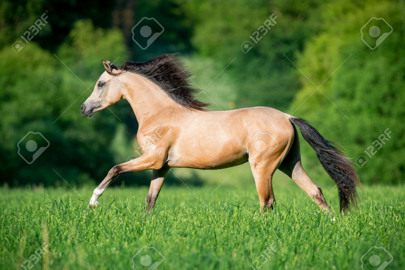 Beautiful Buckskin Horse Running In Forest Stock Photo Picture And Royalty Free Image Image 53625007