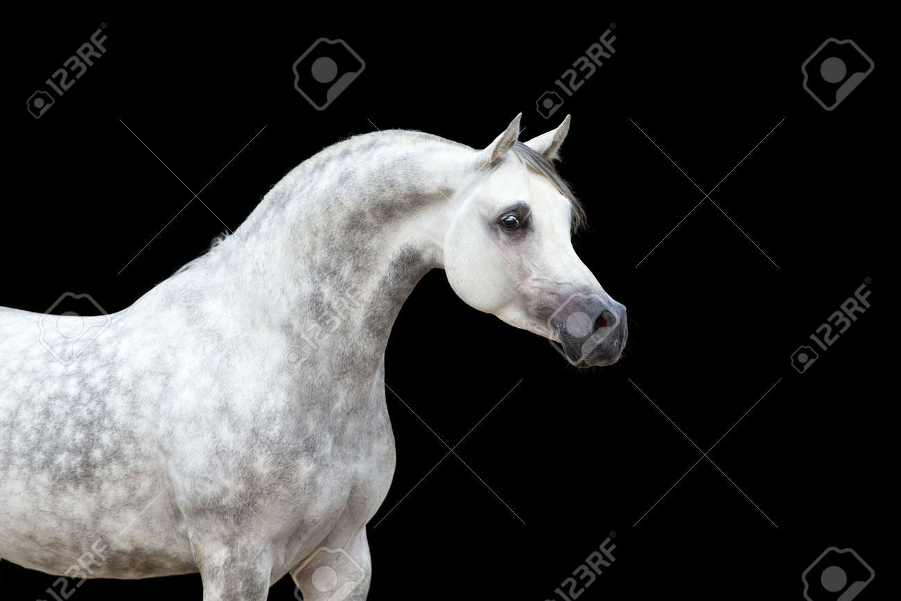 Arabian Horse Portrait Isolated On Black Background Stock Photo Picture And Royalty Free Image Image 53625008