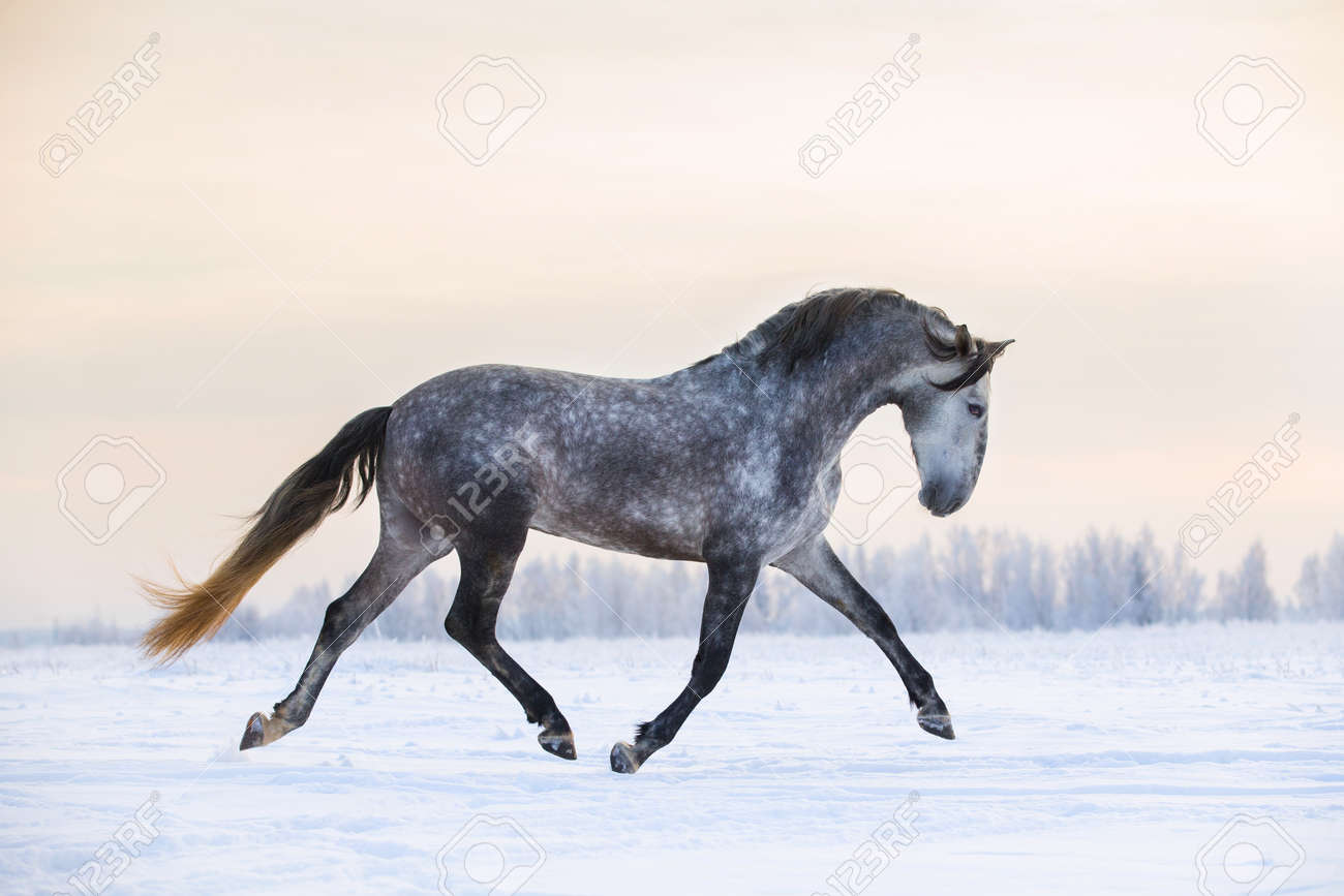 Andalusian Grey Horse In Winter Sunset Stock Photo Picture And Royalty Free Image Image 69344781
