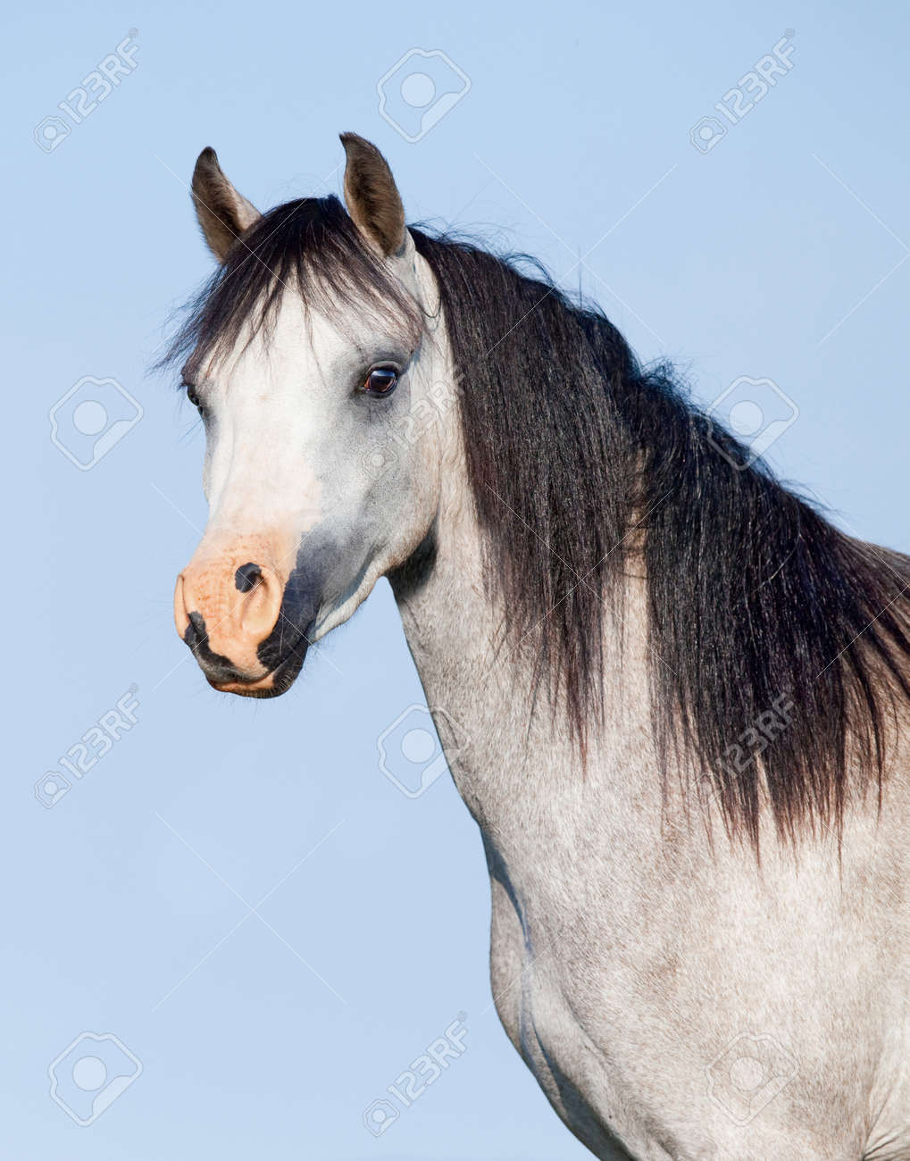 White Horse With Black Mane On Blue Background Stock Photo Picture And Royalty Free Image Image 71230095