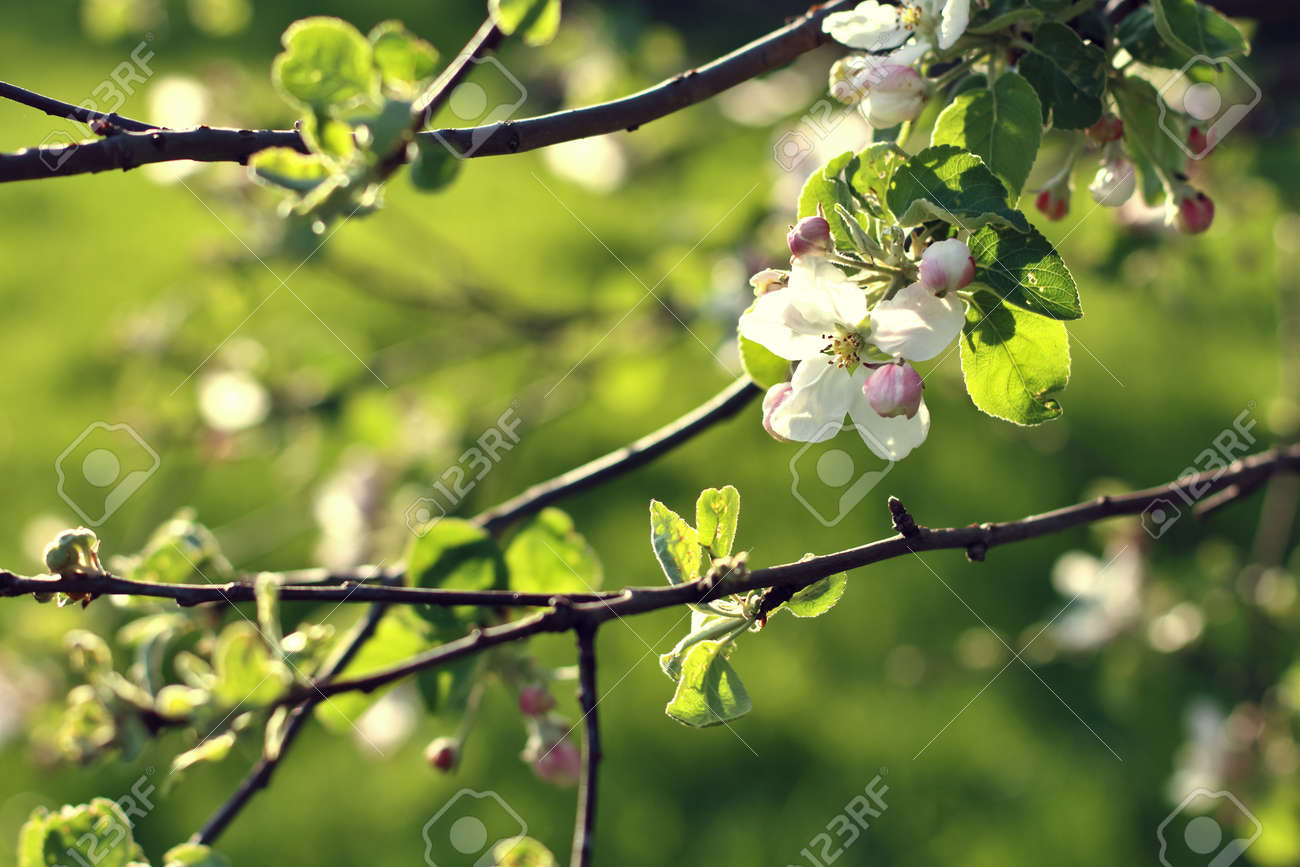 Spring Flowers Apple Tree Blossom Green Background With Copy