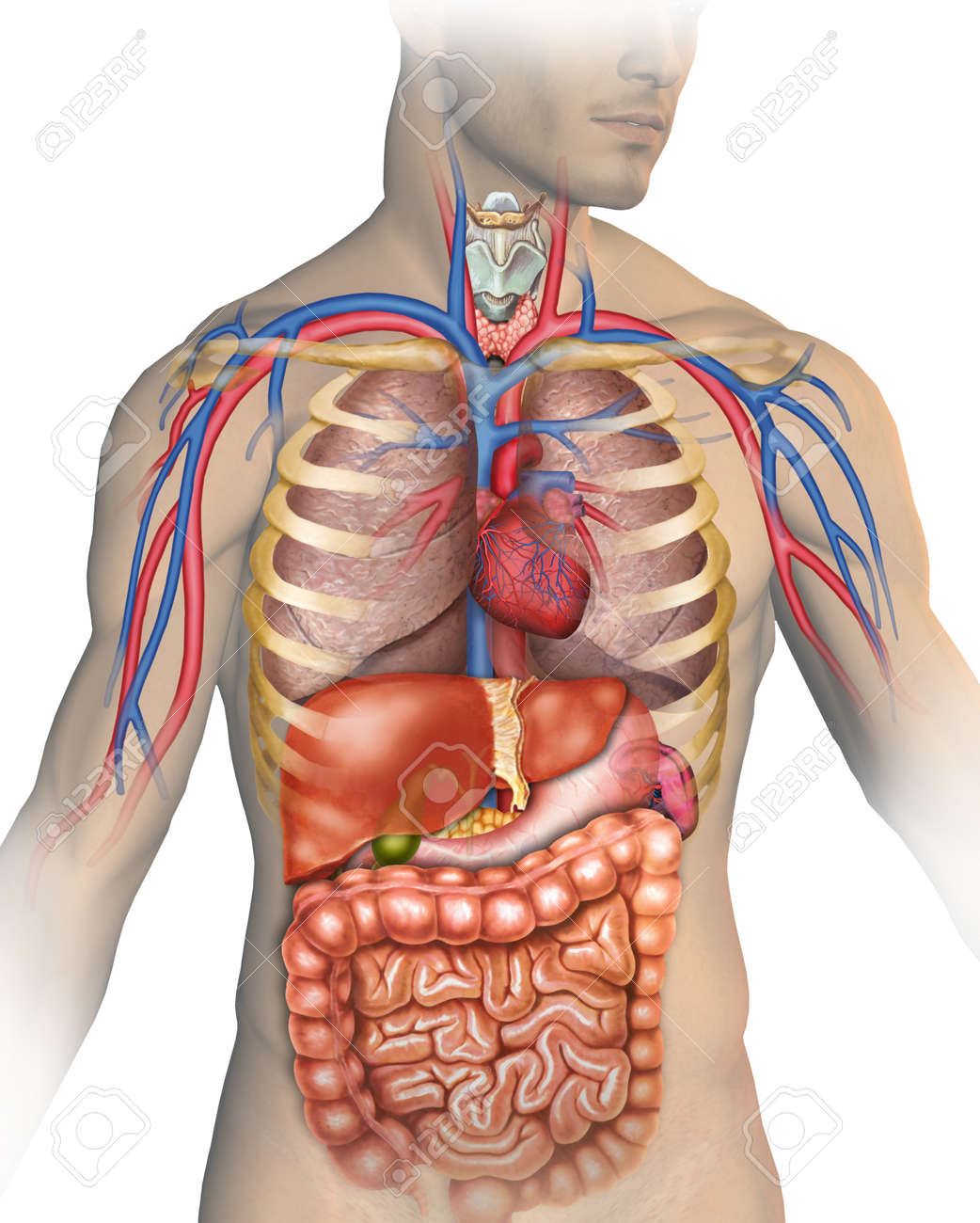 Anatomy Of The Human Body Stock Photo Picture And Royalty Free