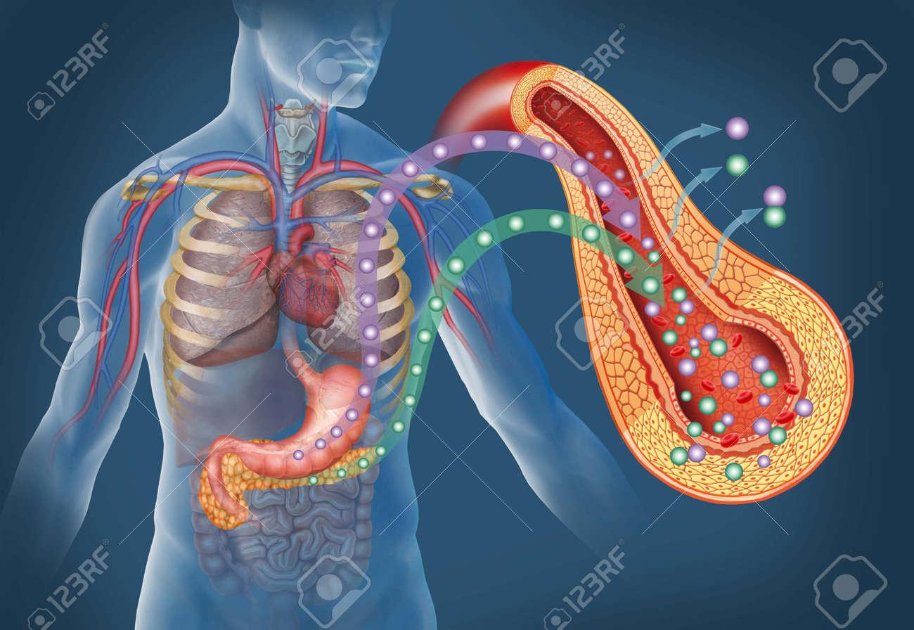 La Imagen Del Cuerpo Humano Y órganos Como El Estómago Y Páncreas ...