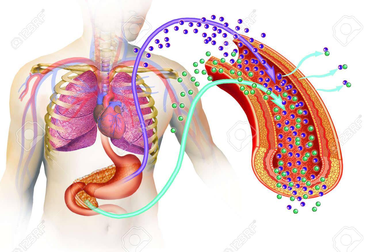 Bild Des Menschlichen Körpers Und Organen Wie Magen Und ...