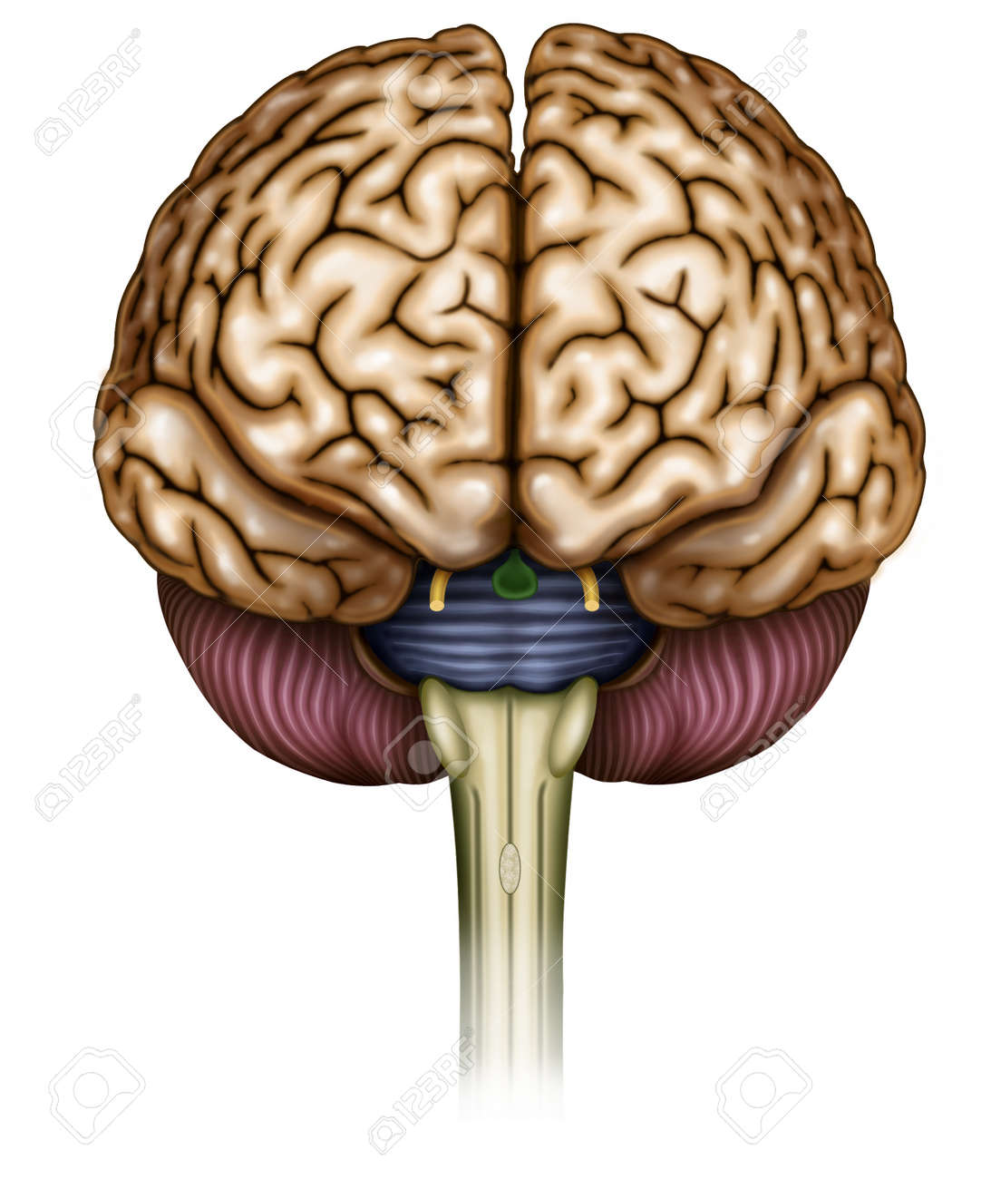Illustration Sista Brain And Optic Nerve Head Olfactory And Stock