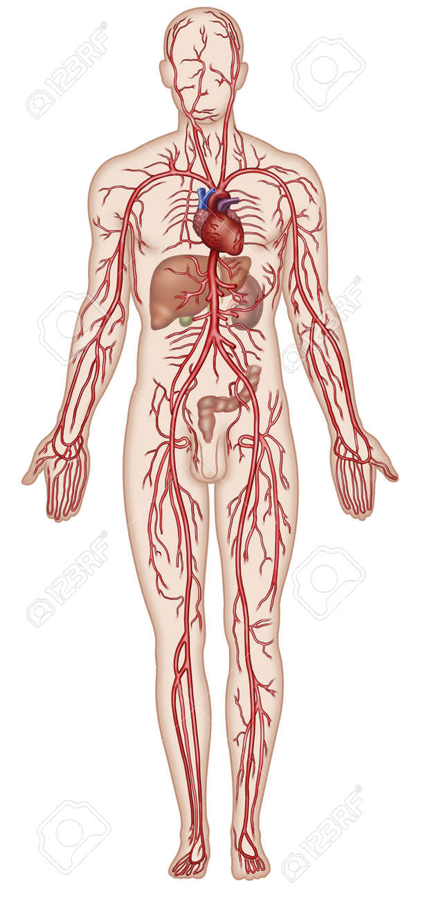 Figure Schematic Illustration Which Shows The Major Arteries Stock