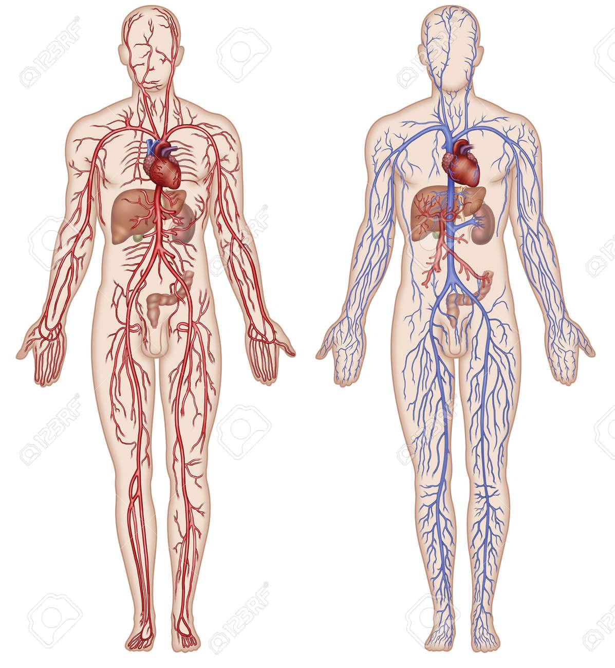 Lujo Cuerpo Humano Diagrama Arteria Elaboración - Anatomía y ...
