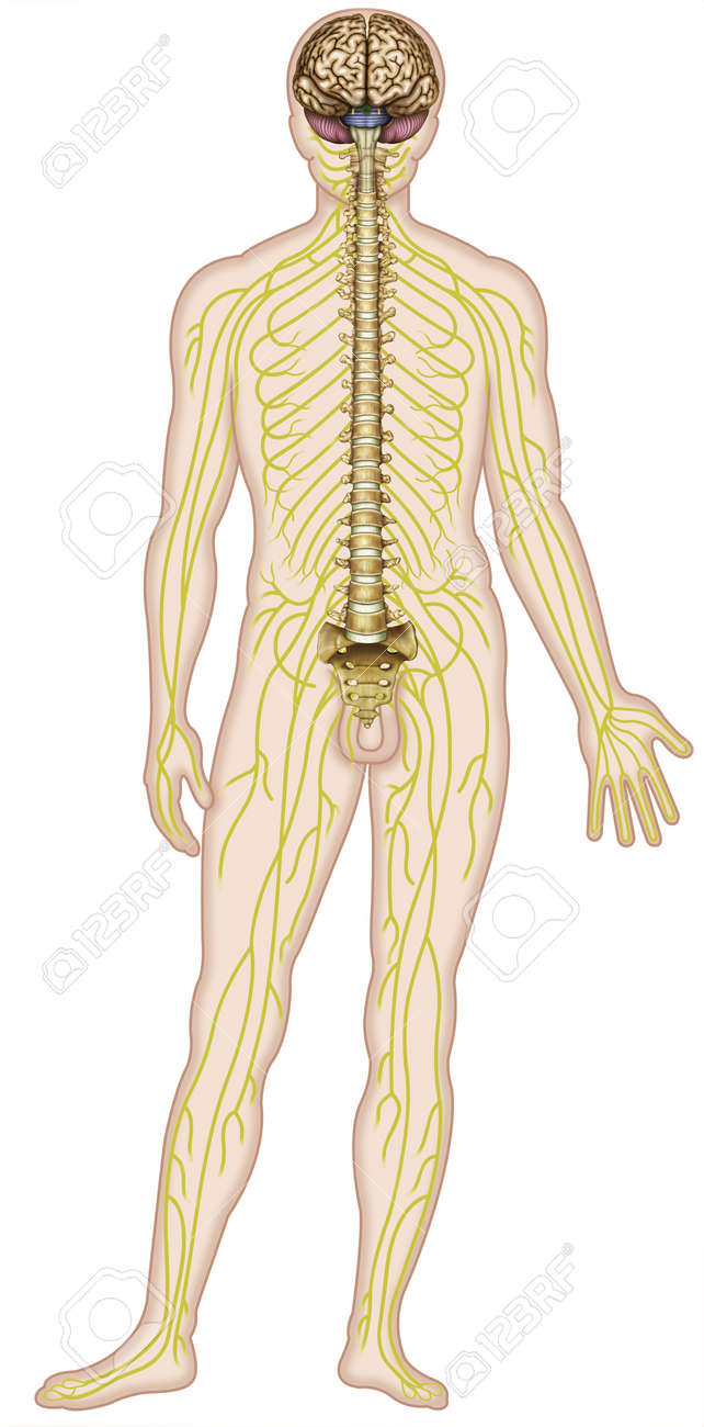 human figure which shows major nerves of the human body stock photo -  18847673