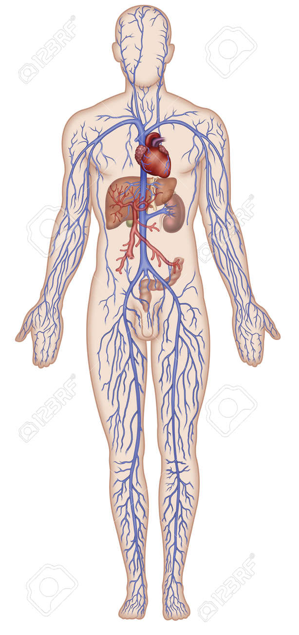 Figure Schematic Illustration Which Shows The Major Veins Of Stock
