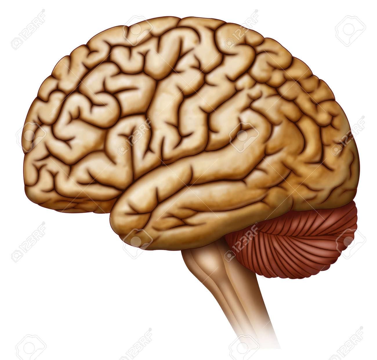 Kopf, Gehirn, Hirnstamm-, Nerven-, Riechkolben, Riechbahn, Hypophyse ...