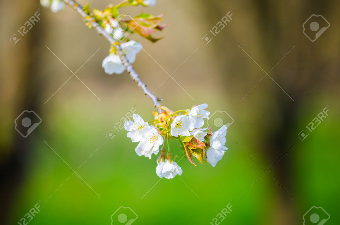 White Cherry Tree Flowers Hanging On A Branch With Fresh Green