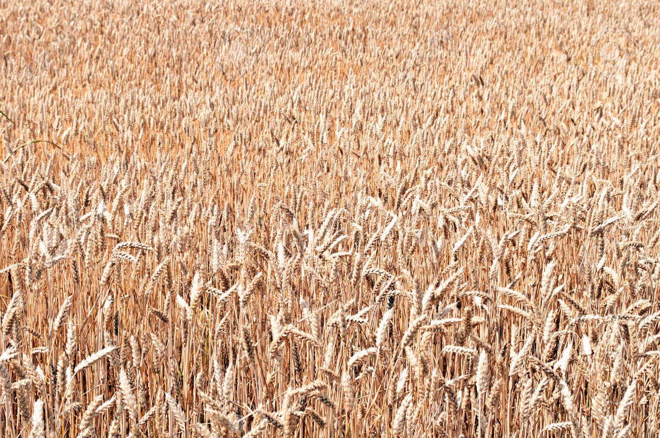 Golden wheat field background Stock Photo - 12990012