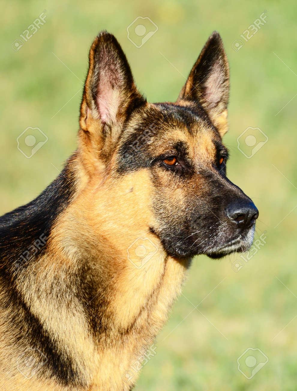 German Shepherd Stock Photo - 15918435