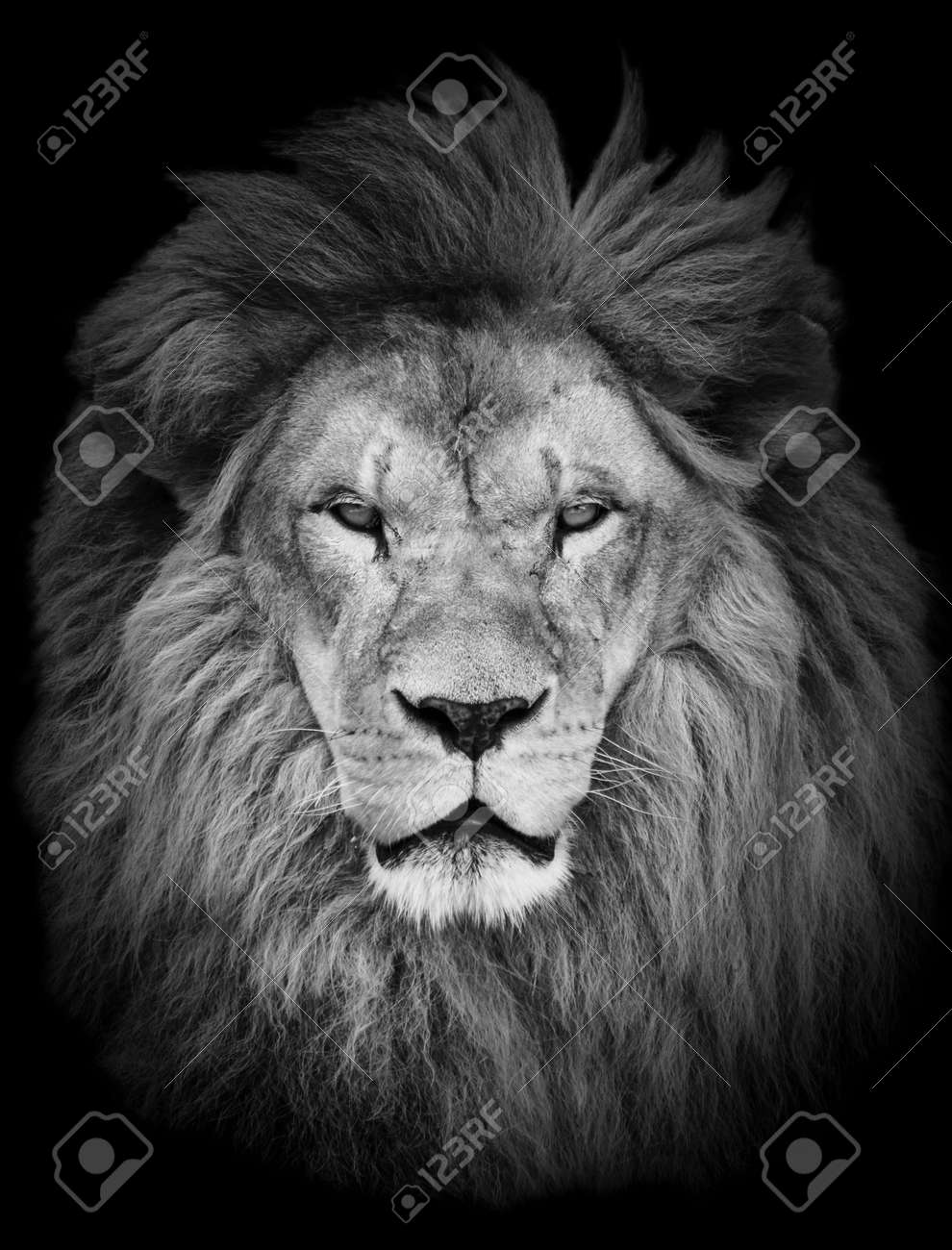 Portrait of huge beautiful male African lion against black background - 26400476