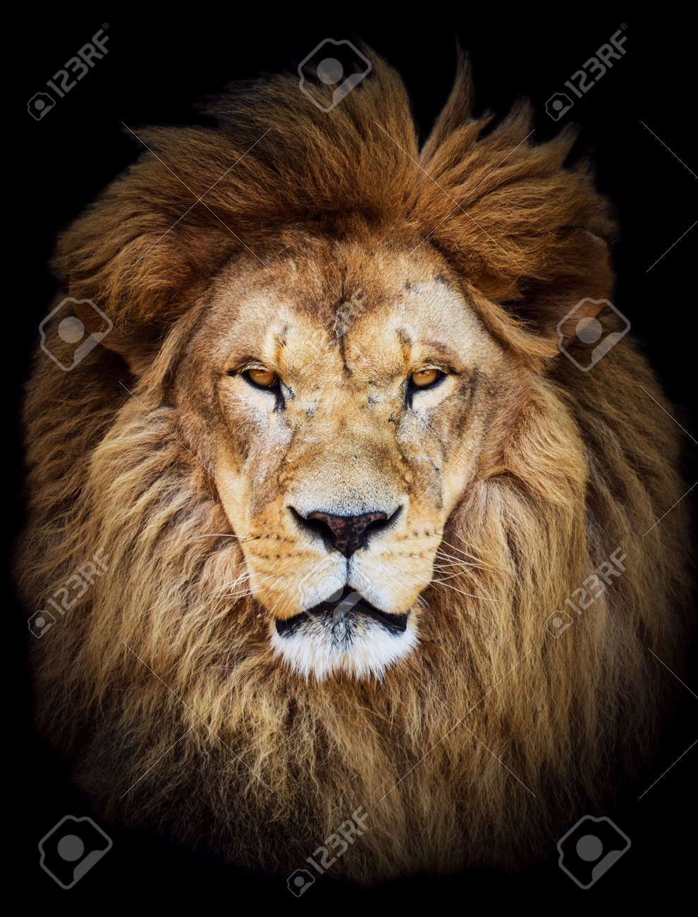 Portrait of huge beautiful male African lion against black background - 26400477