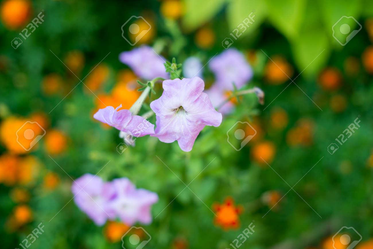 Blue Bell Flowerspurple Bell Flower Beautiful Spring Background