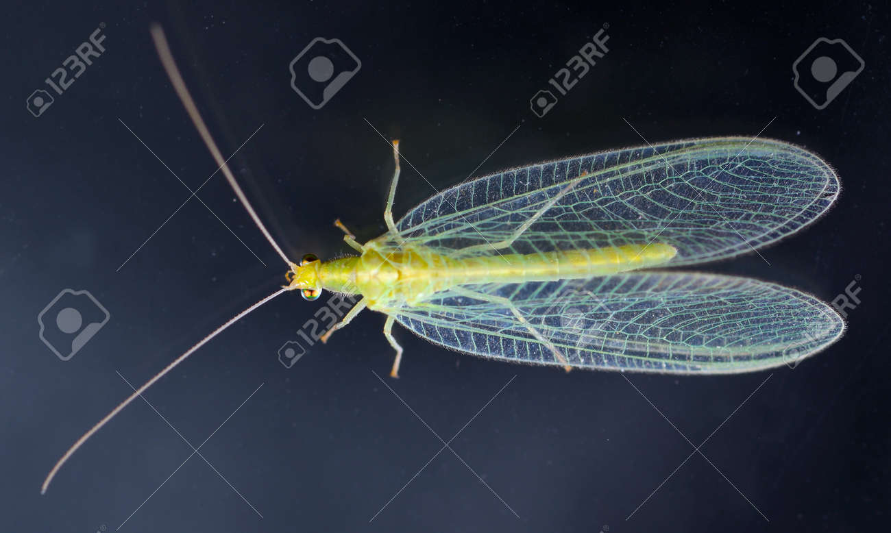 Chrysopidae-insect Green Lacewing Stock Photo - 19334190