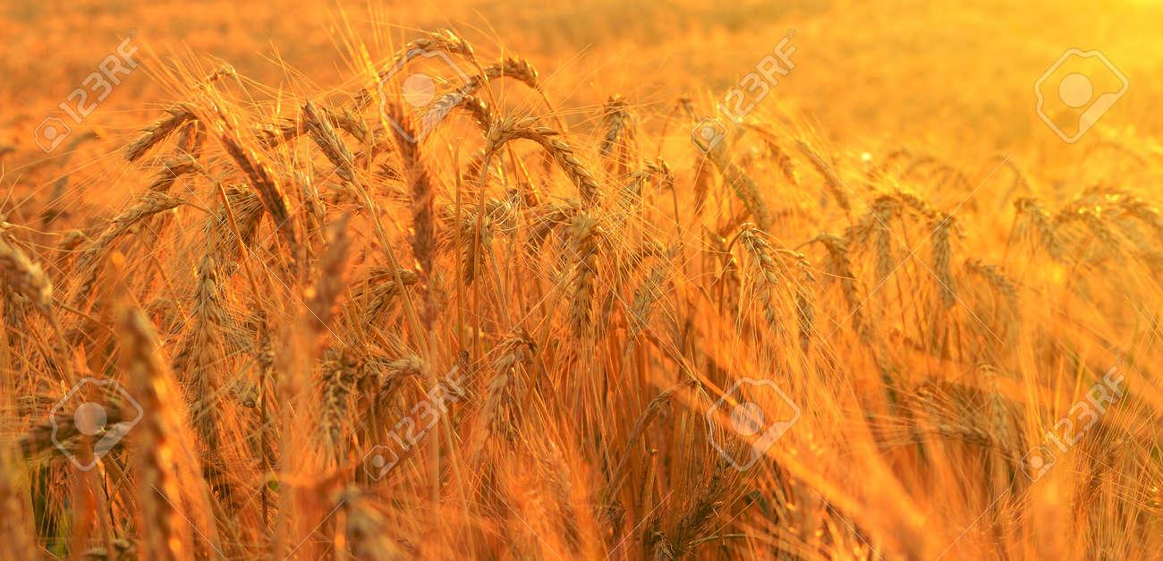 Wheat field in rays of rising sun - 24749484