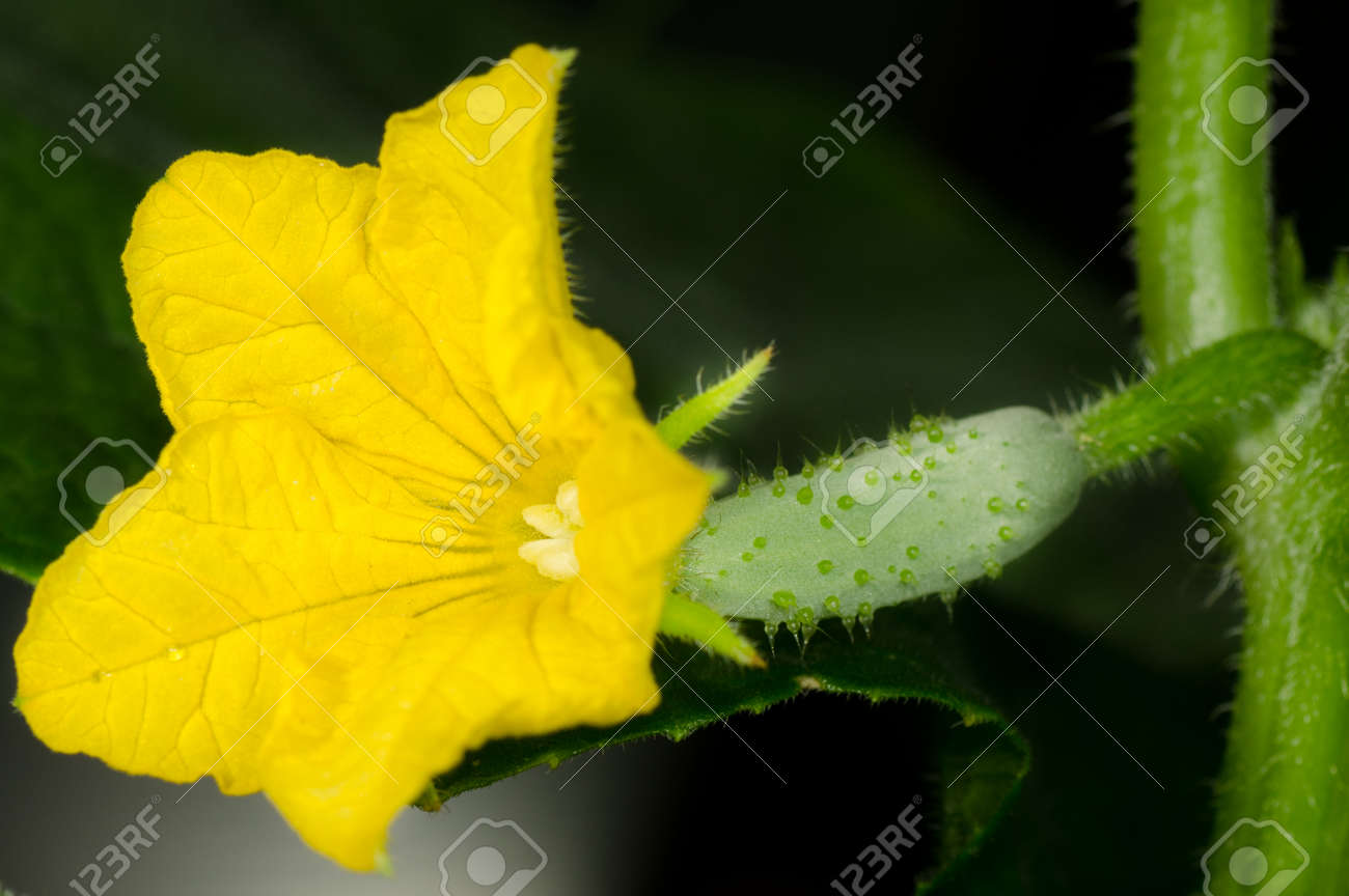 Beautiful Blossom with Little Ð¡ucumber - 25887619