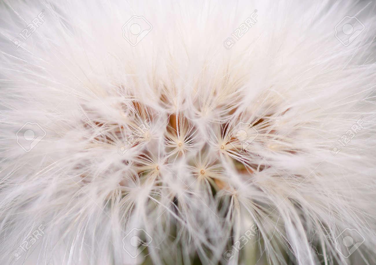 Dandelion Blossom Closeup - 25887621