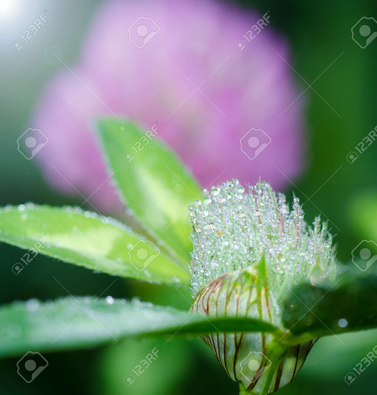 Fresh Ð¡lover Flowers Blossom with Drops of Dew - 25887623