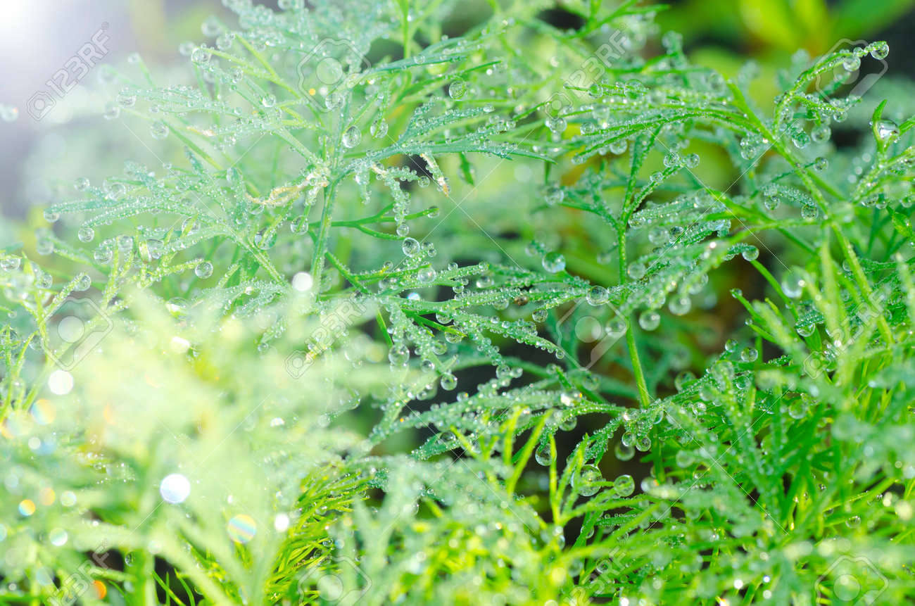 Wet Dill Closeup with Drops of Dew - 25887638