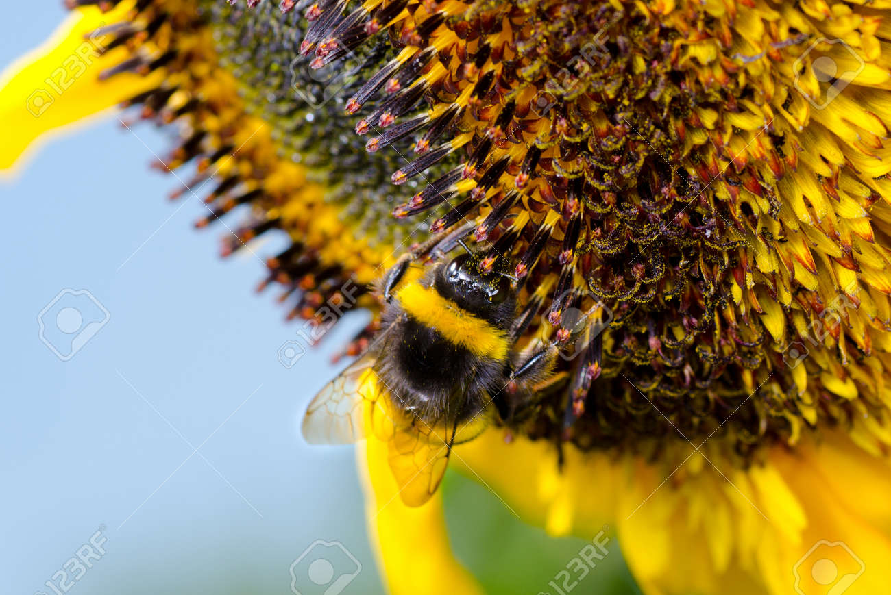 Bumblebee on a Sunflower, Close-up - 27560710