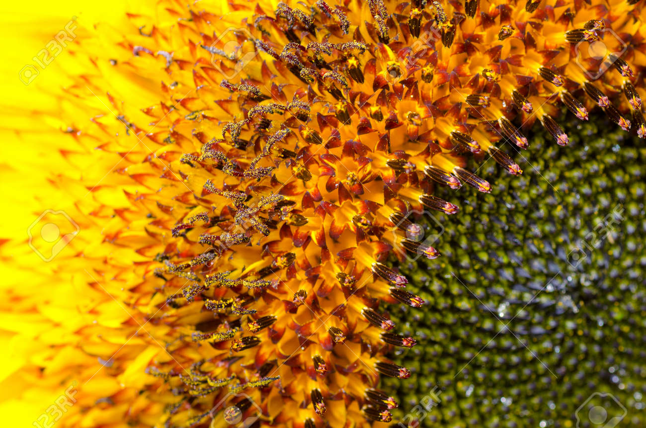 Bumblebee on a Sunflower, Close-up - 27560712