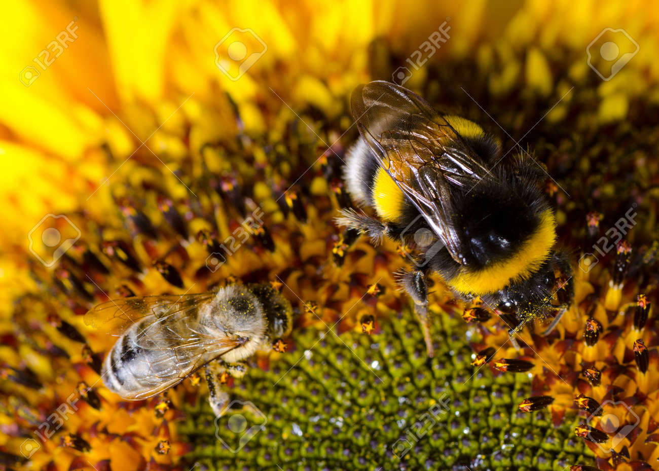 Bumblebee on a Sunflower, Close-up - 27560661