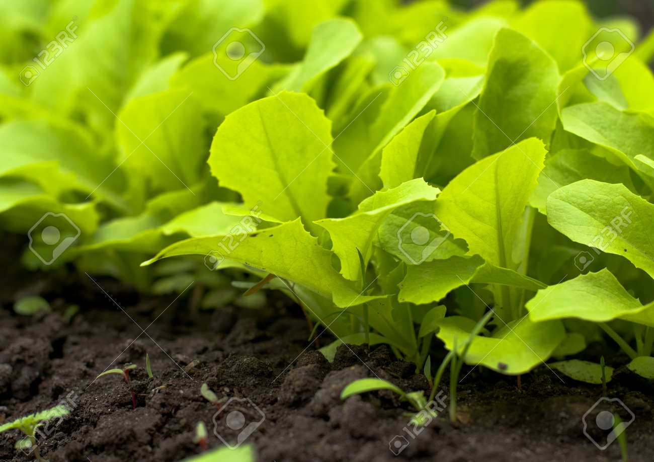 Young Green Lettuce Salad in Greenhouse - 27560619