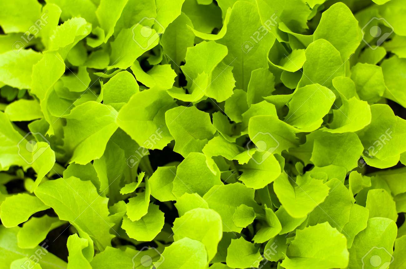 Freshness green lettuce salad texture - 27560625