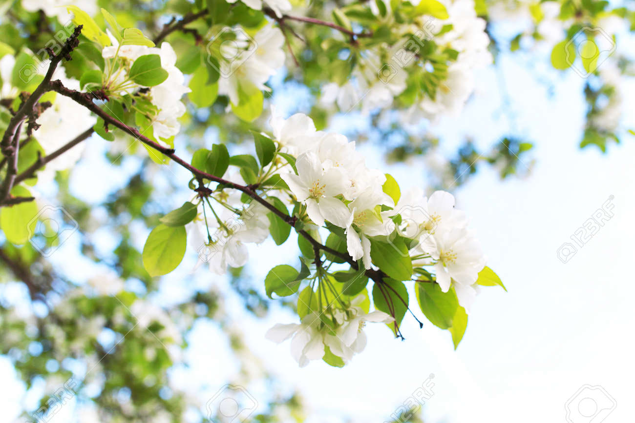 Early Spring The Flowering Apple Tree With Bright White Flowers