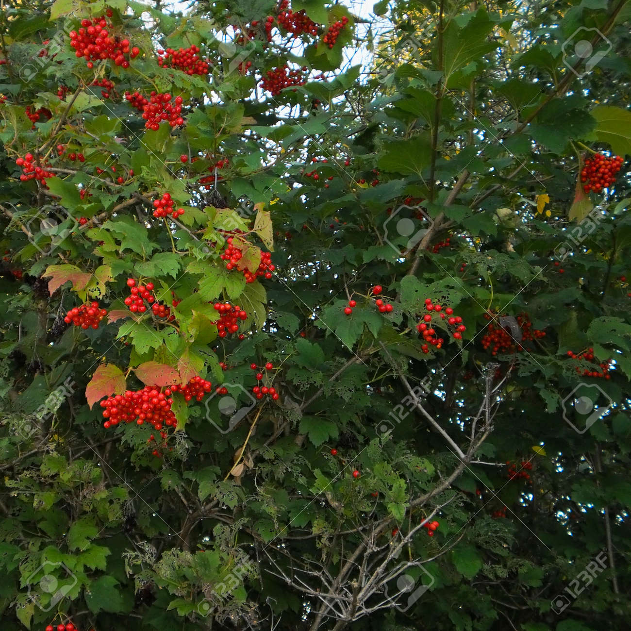 Viburnum Bush With Bunches Of Red Berries Shrub Or Small Tree