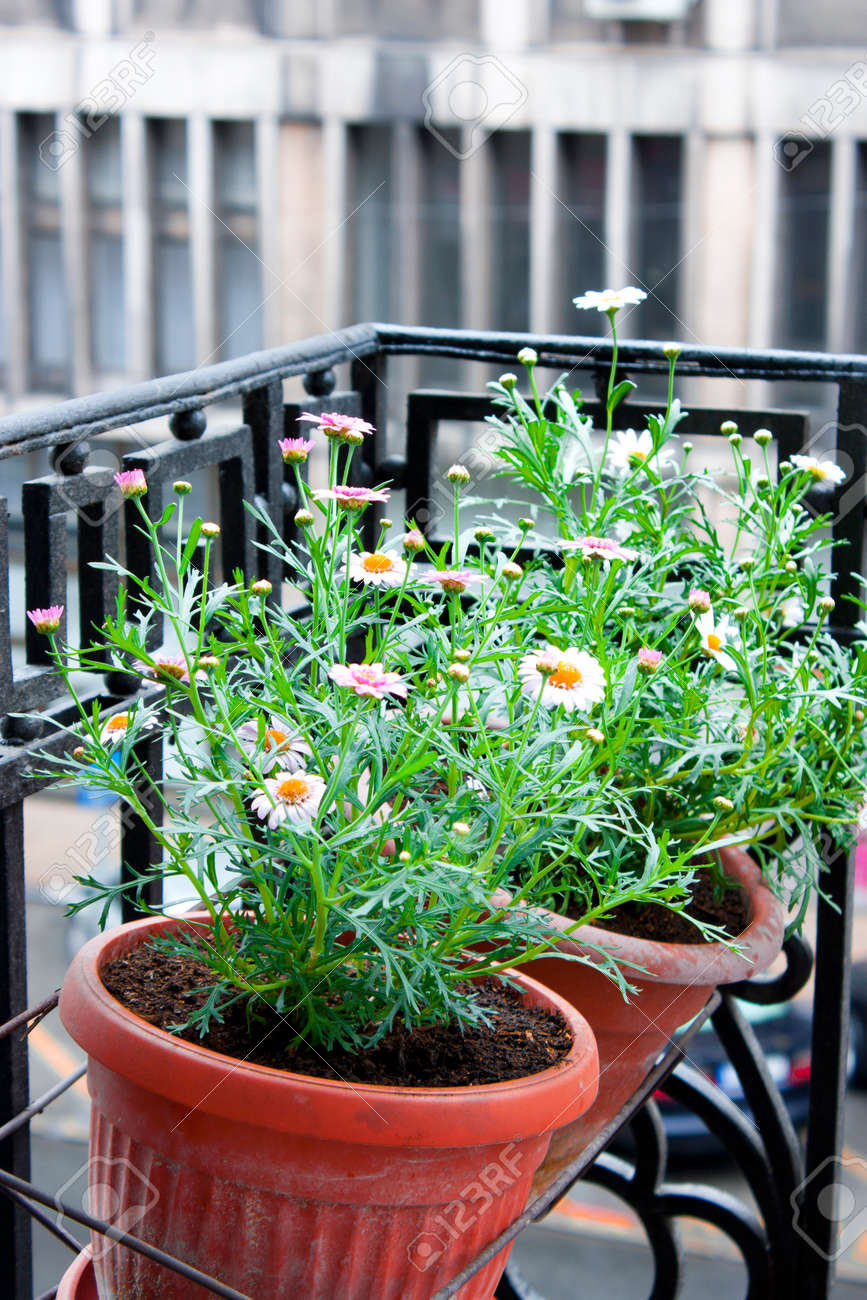 Blumen Daisies Margaritas In Einem Blumentopfe Auf Einem Balkon In