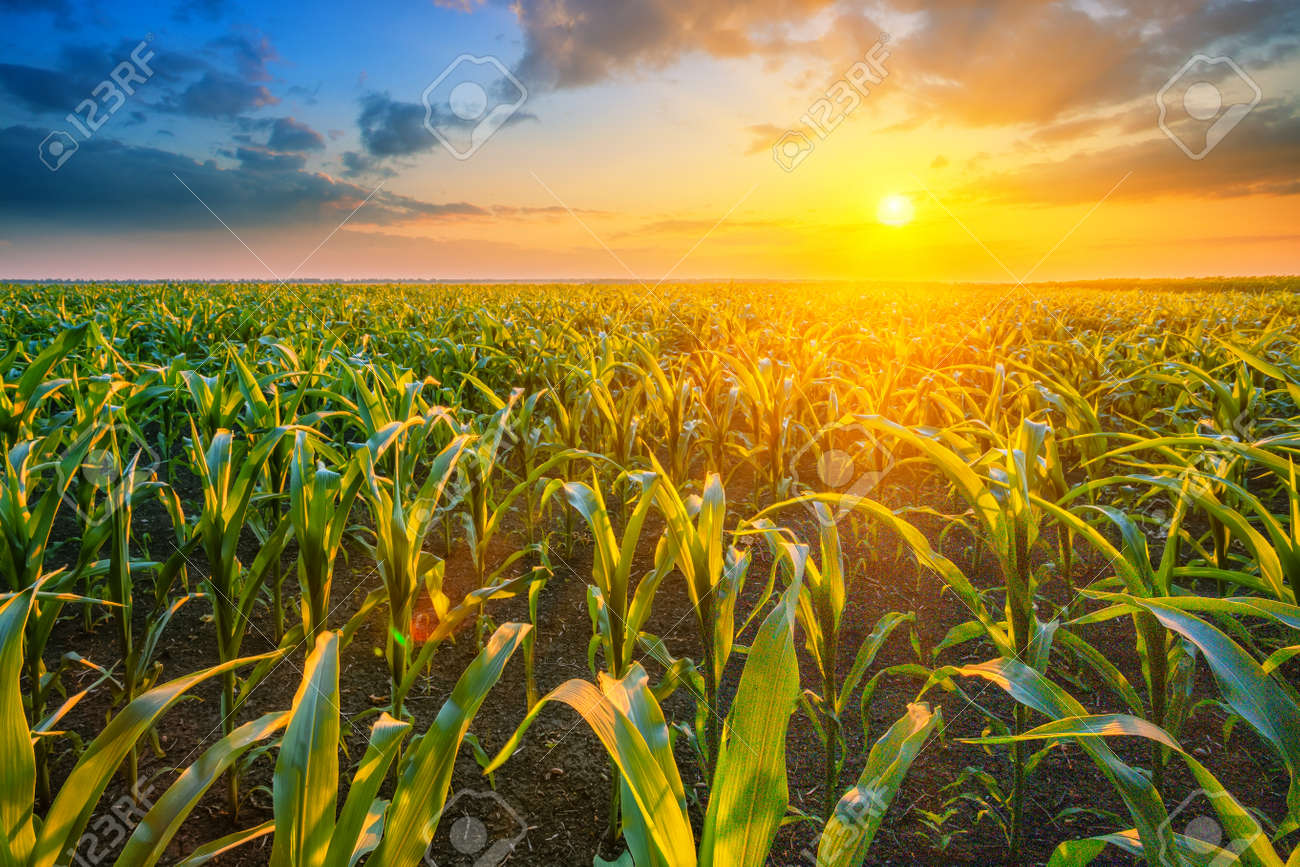 Corn field at sunset with bright sun - 152428153